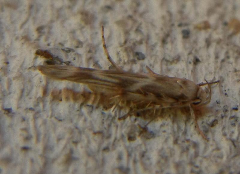 Palumbina guerinii - Gelechiidae.........dal Trentino
