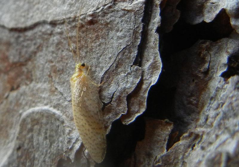 Hemerobius micans - Hemerobiidae