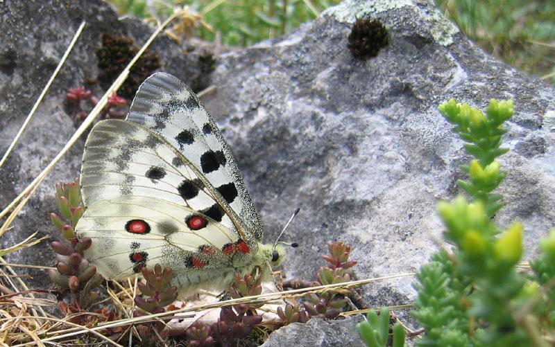 Parnassius apollo - Papilionidae..........dal Trentino