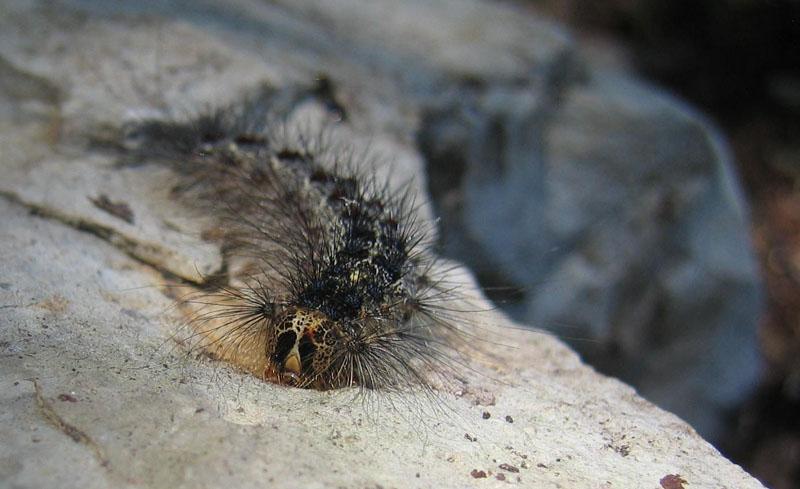 bruco: Lymantria dispar - Erebidae Lymantriinae........TN