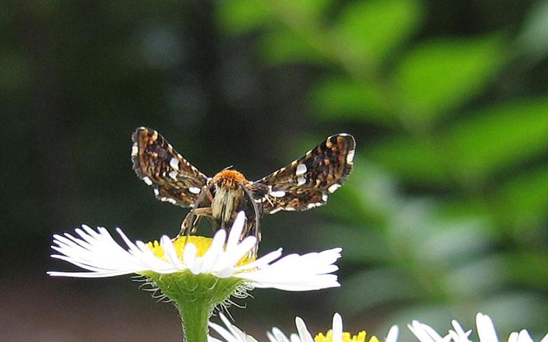 Thyris fenestrella - Thyrididae...........dal Trentino