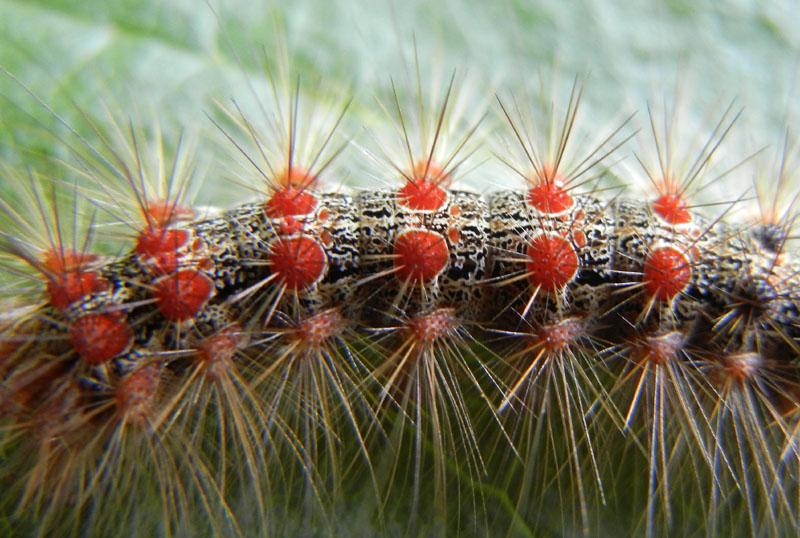 bruco: Lymantria dispar -Erebidae Lymantriinae..... (TN)