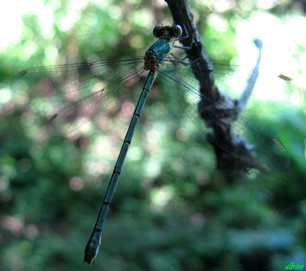 Caloggio 2: Chalcoleses viridis (?)