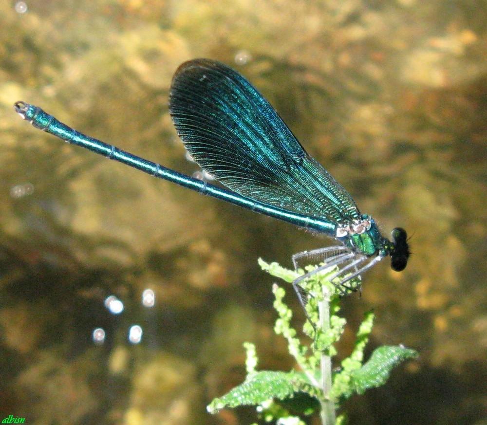 Caloggio 4: Calopteryx splendens