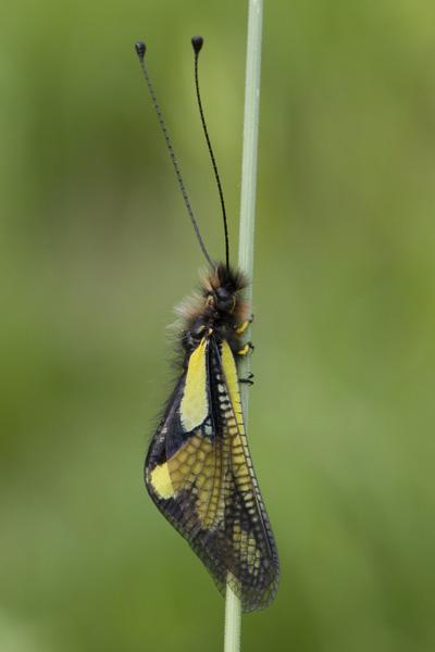 farfalla? No. Libelloides coccajus