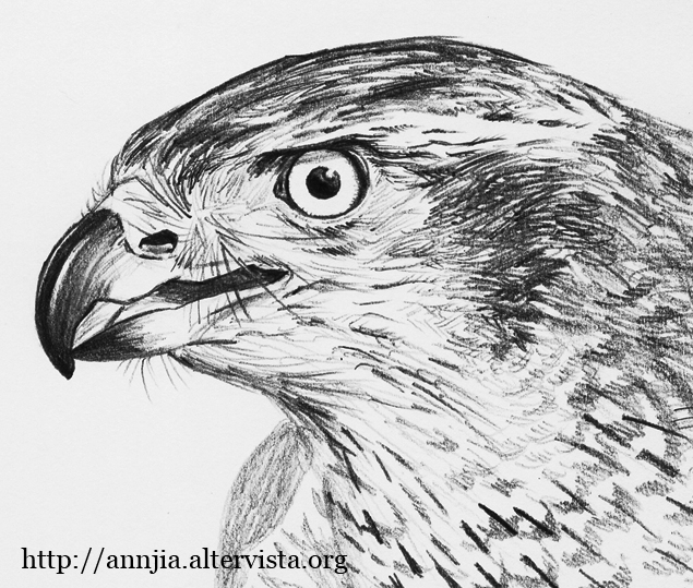 Rapaci forum natura mediterraneo forum naturalistico - Semplici disegni di uccelli ...