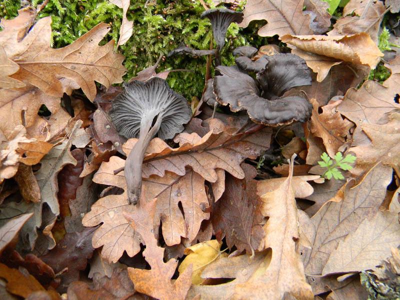 Craterellus cornucopioides fotog.il 14.12.2010.