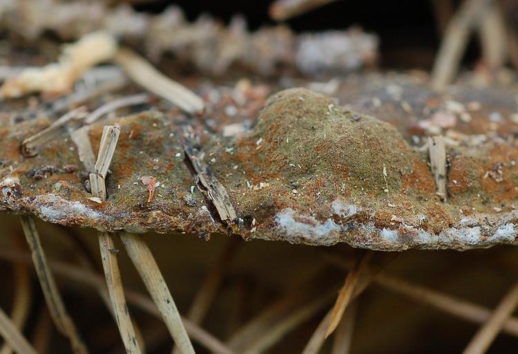 Phylloporia ribis