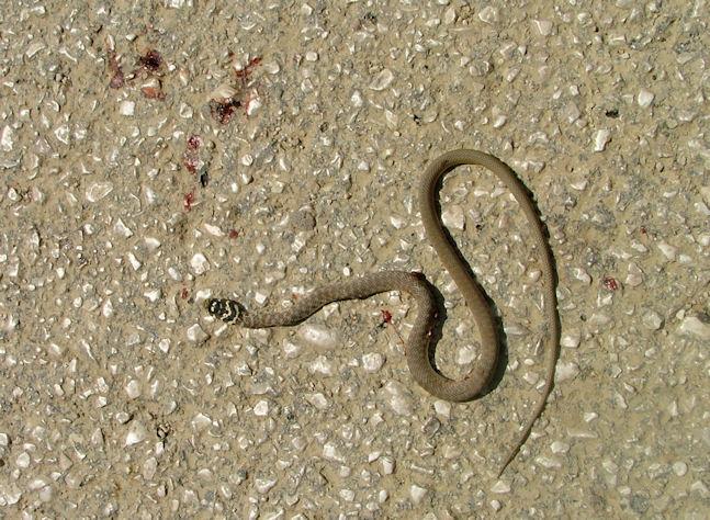 Il colubro di esculapio il pi dolce dei nostri serpenti for Serpente frustone
