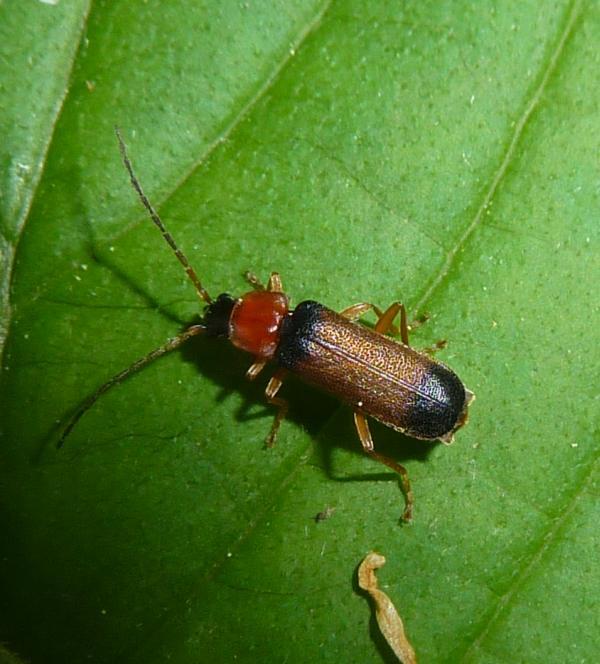 Cantharidae: Cratosilis laeta