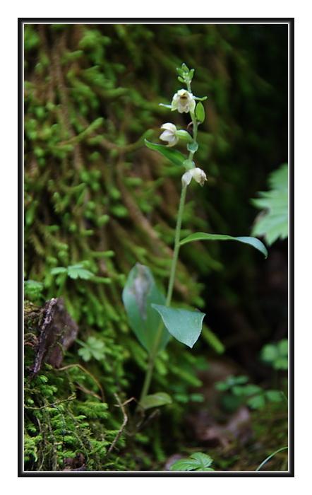 Orchidee Venete - 3