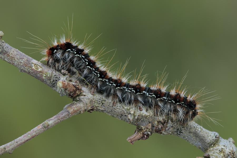 Bruco da identificare - Eriogaster (Eriogaster) catax