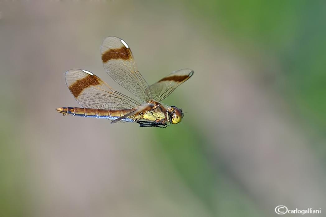 Sympetrum pedemontanum in volo