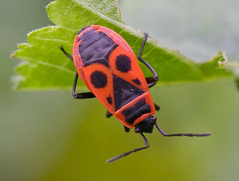 Pyrrhocoridae: Pyrrhocoris apterus della Liguria (SP)