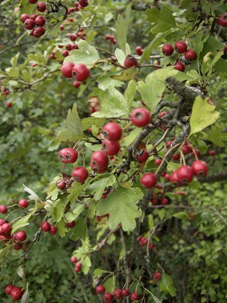 Alberello bacche rosse crataegus monogyna forum natura for Bacche rosse nomi