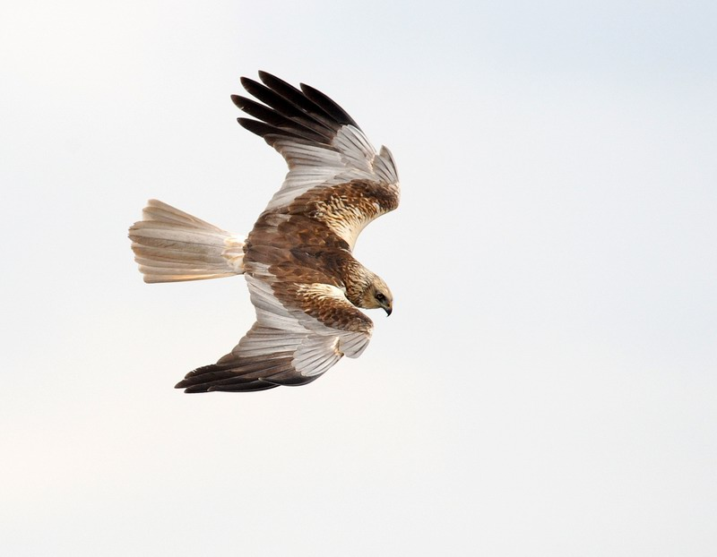 Falco di palude - Circus aeruginosus