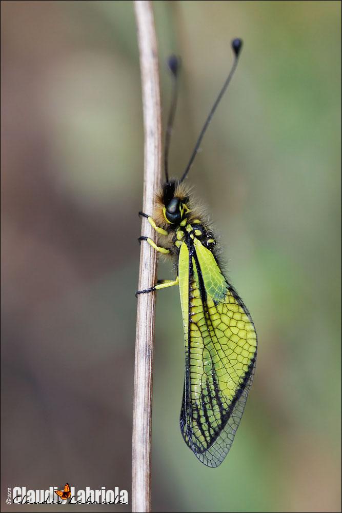 Libelloides latinus, forma bianca e gialla