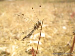 Le Ascalaphidae del Mediterraneo