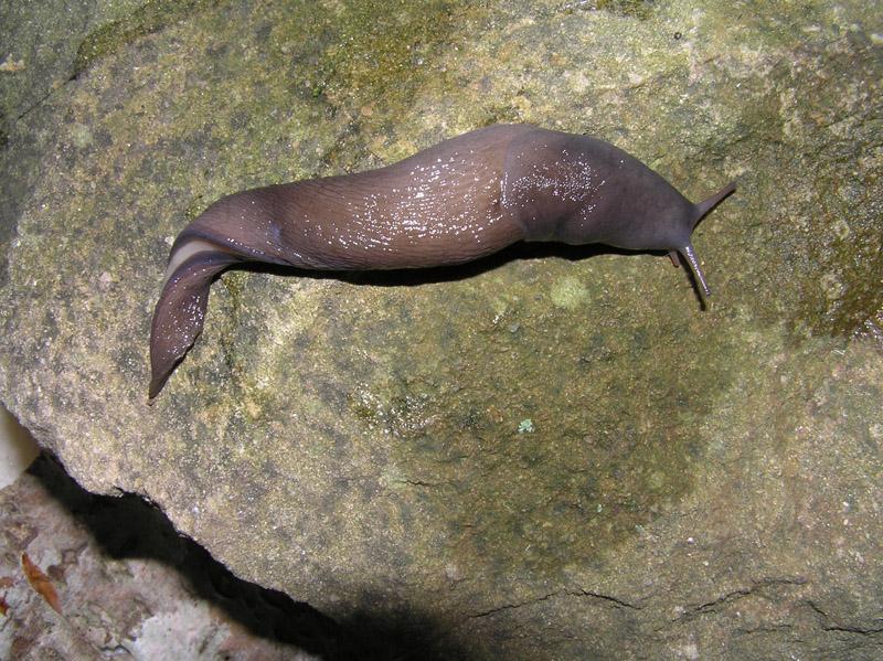 Limacidae delle Alpi Marittime