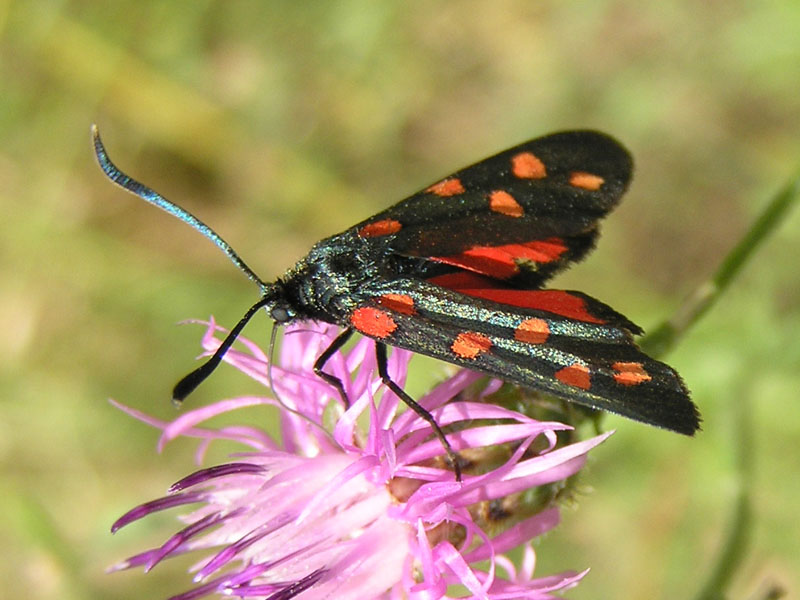 Zygaenidae della Garfagnana/Apuane/Lunigiana