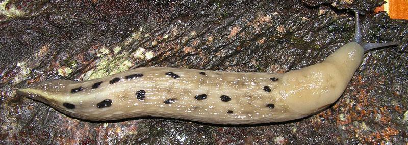 Limax aldrovandi Moquin-Tandon 1855 dal Val Serenaia (LU)
