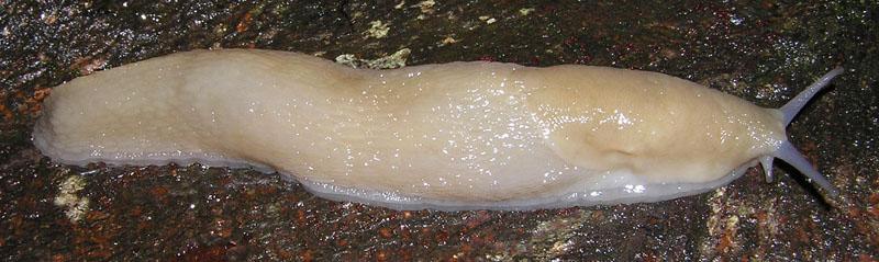Limax subalpinus e L. monregalensis ? dal Piemonte