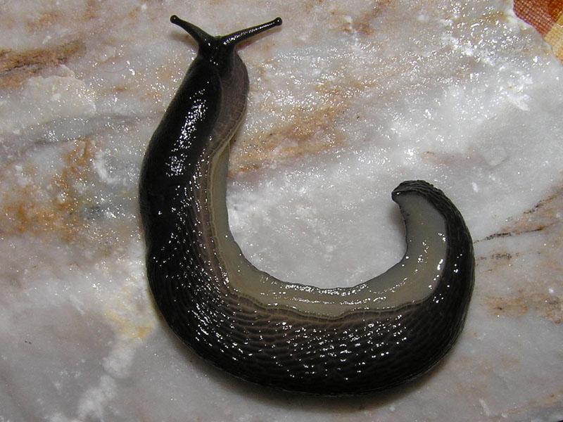 Un Limax nero dei Monti della Laga (AP)