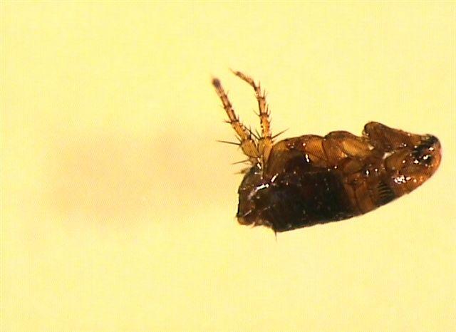 Pulce Ctenocephalides felis