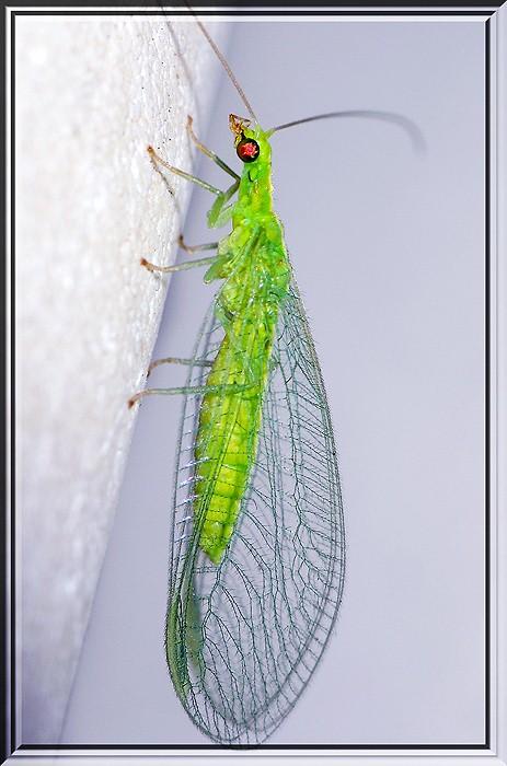 Chrysoperla pallida