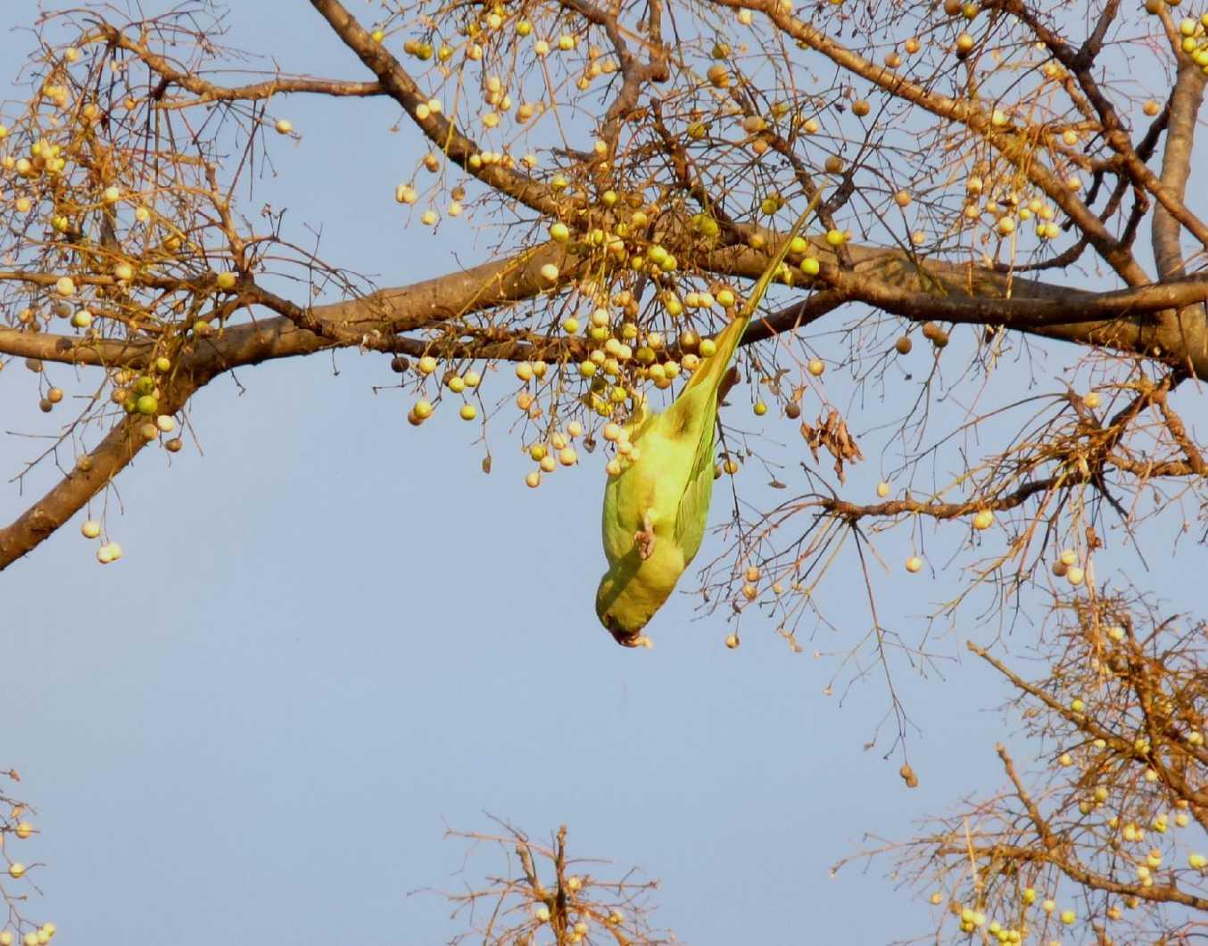 Varie colonie di pappagalli Parrocchetto presenti a Roma