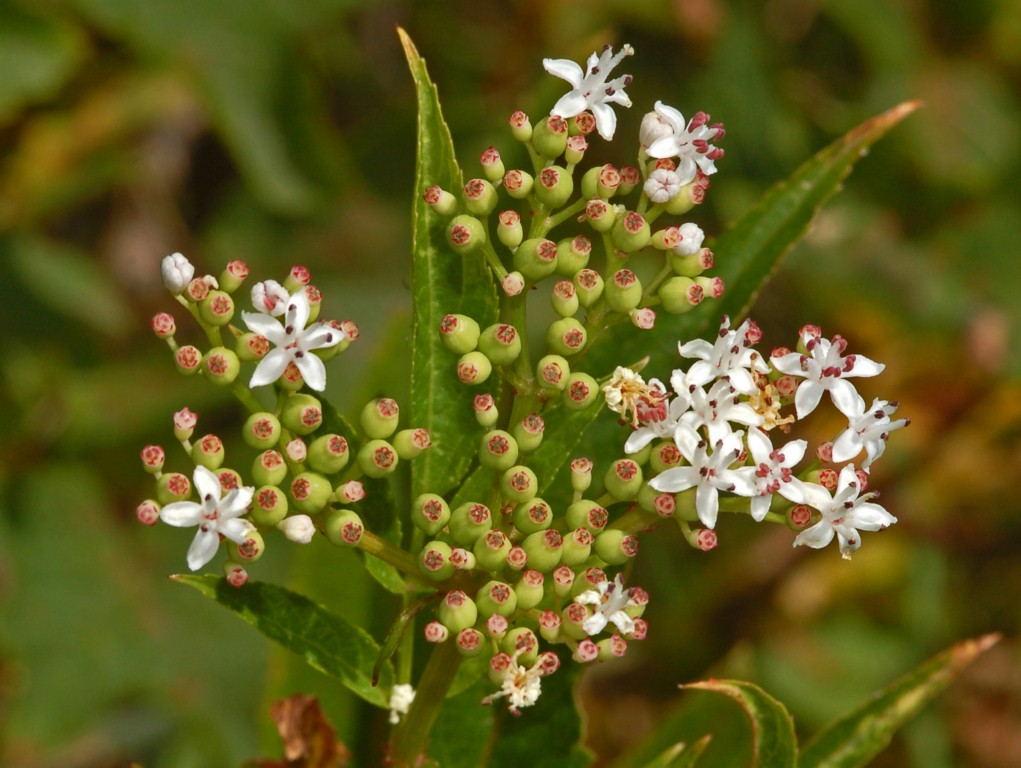 Una pianta con dei piccoli fiori bianchi sambucus ebulus for Fiori piccoli bianchi
