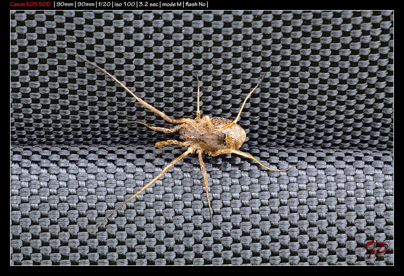 Opilione siciliano: Odiellus spinosus