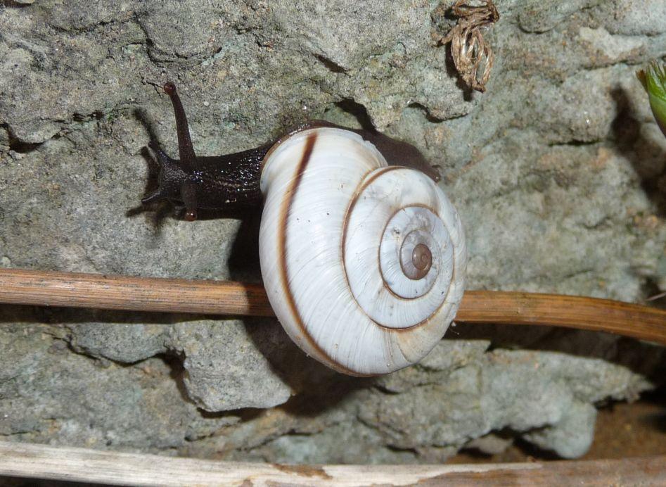 Chilostoma cingulatum baldense (Rossm. 1839). Un riassunto