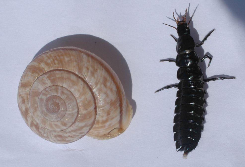 Larva di Carabidae predatrice di chiocciole dal M.Baldo