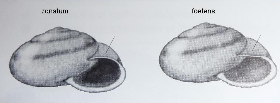 Chilostoma zonatum foetens (Studer, 1820)