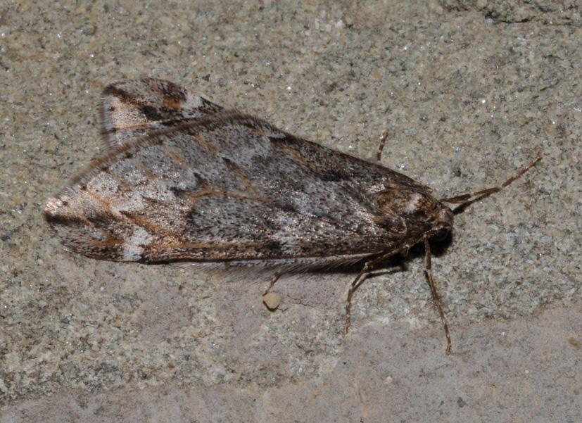 aiuto id : Alsophila aescularia