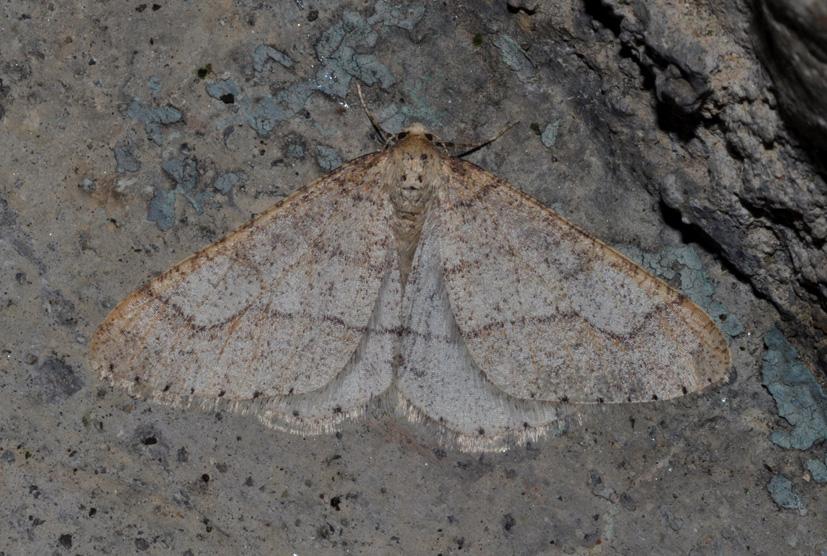 Geometridae: aiuto id- Agriopis marginaria