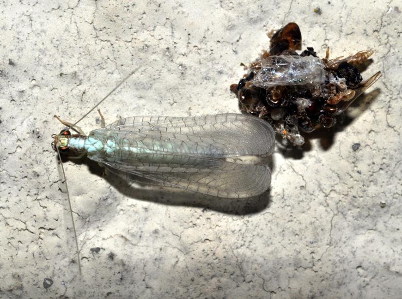 Dichochrysa clathrata appena