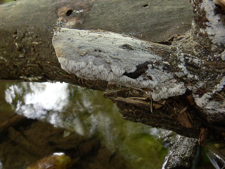 A proposito di Oxyporus.....(Oxyporus latemarginatus)