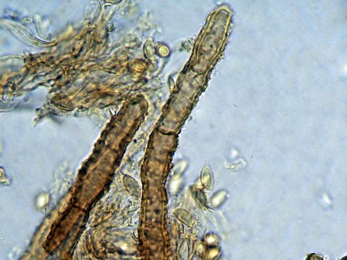 Coniophora olivacea (Fr.) P. Karst.