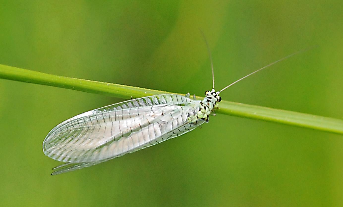 Chrysopa perla