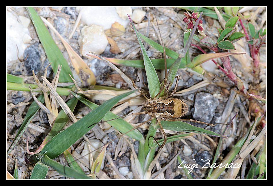 Metaphalangium propinquum da Marausa (TP)