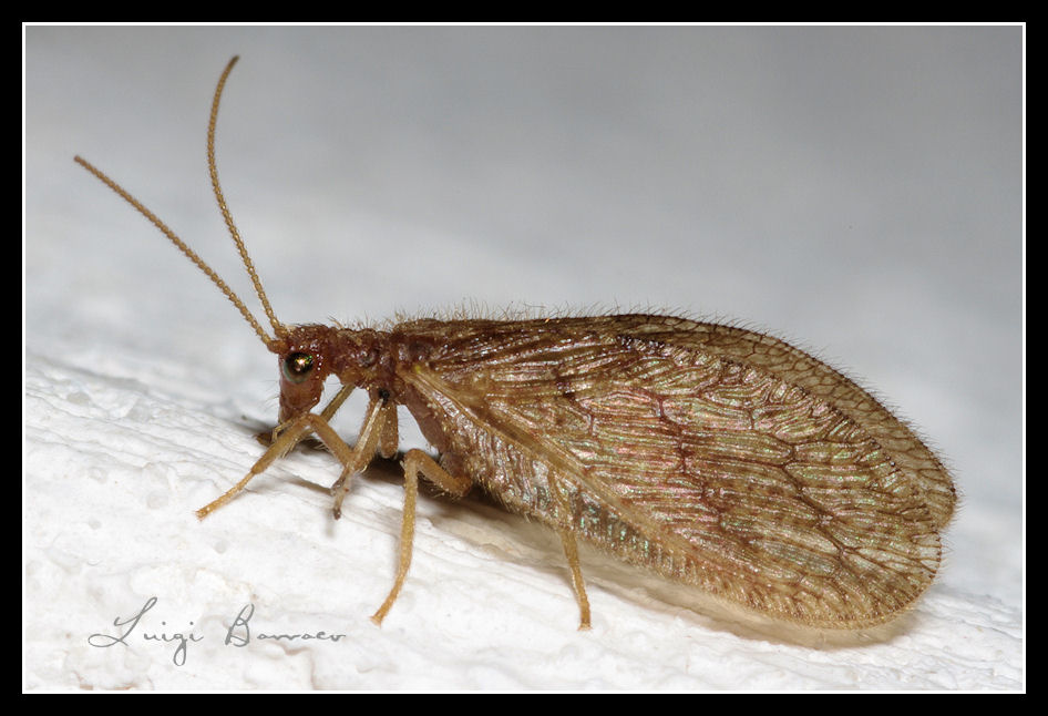 Micromus angulatus, fino a prova contraria