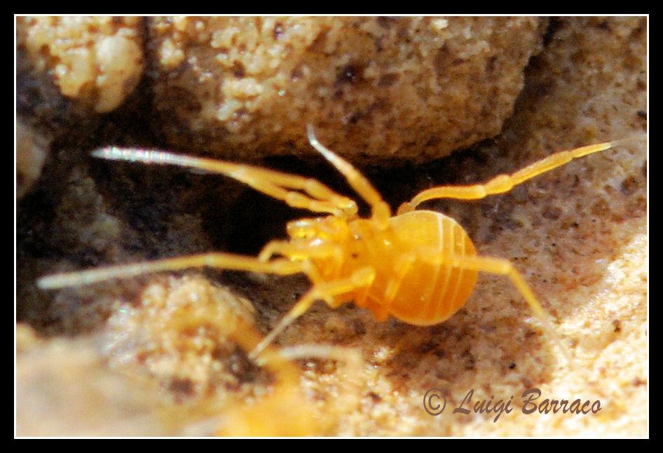 Opilioni minuscoli siciliani: Ptychosoma vitellinum