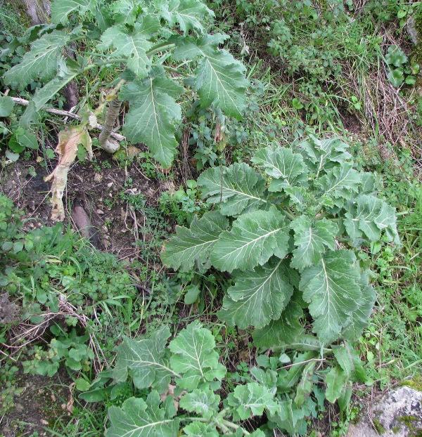 Brassica villosa subsp. drepanensis