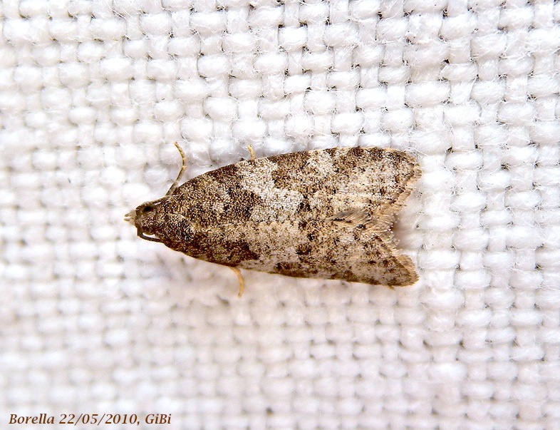 Tortricidae: Cnephasia incertana?