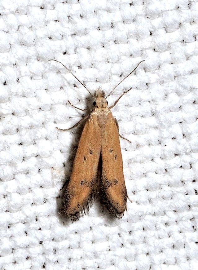 Gelechiidae da determinare : Mesophleps silacella