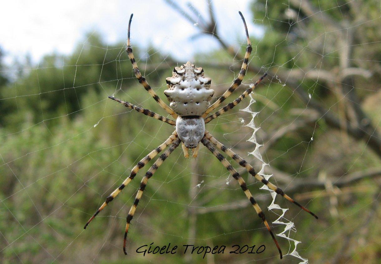 смайликов позволит паук аргиопа лобата фото и описание лучше вид, фотографа