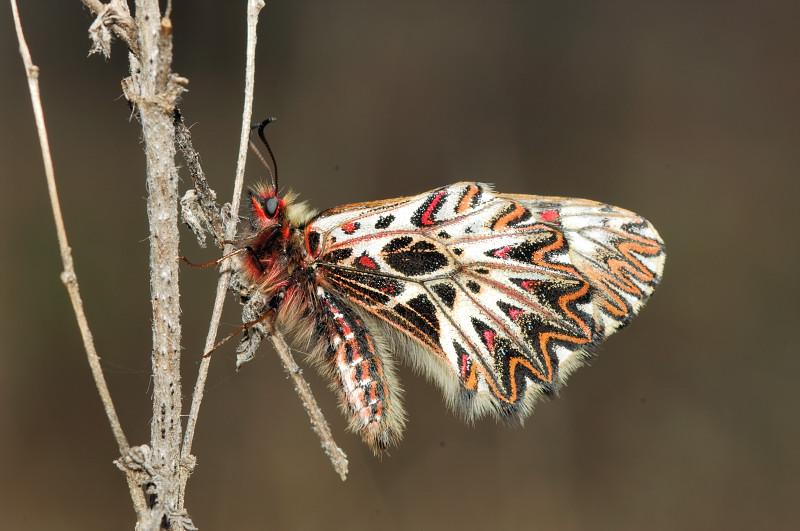 Zerynthia polyxena ♀