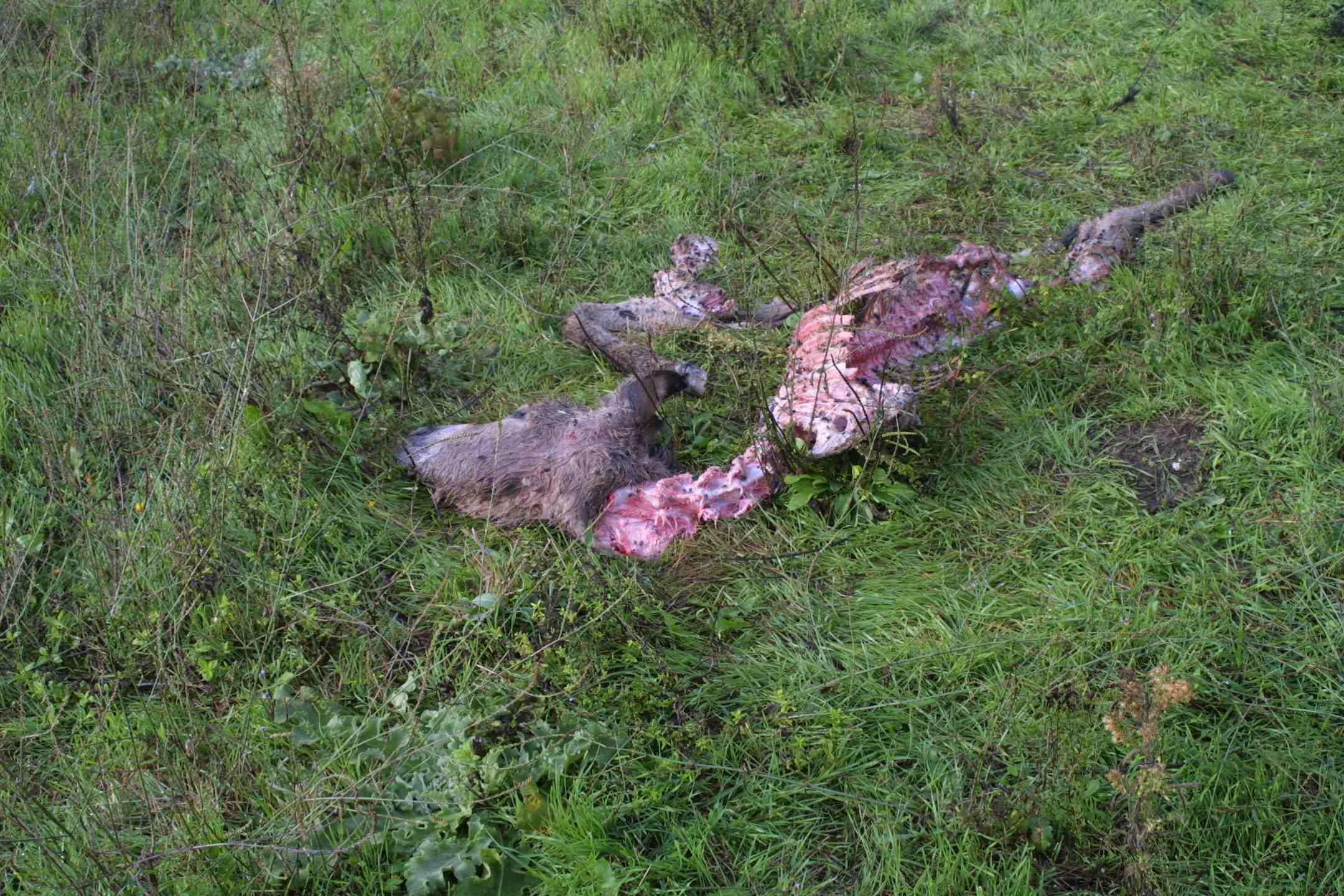 probabile predazione di lupi su asino